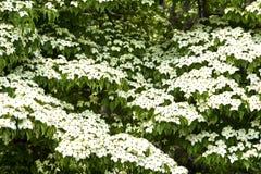 Kousa di fioritura giapponese della cornina del corniolo Fotografie Stock