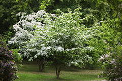 Kousa Dogwood Stock Image