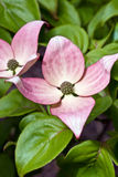 Kousa pink dogwood in bloom Royalty Free Stock Photos