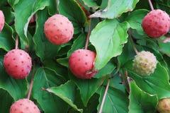Kousa dogwood fruit Stock Photo