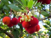 Kousa Dogwood Fruit and Flowers Royalty Free Stock Images