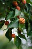 Kousa Dogwood Fruit Stock Photography