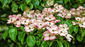 Kousa Dogwoods in Bloom Royalty Free Stock Images