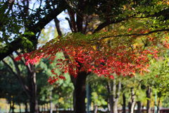 Kouyou. Autumn in Japan, the leaves of the trees change to beautiful colors Stock Photo