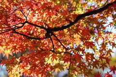 Kouyou. Autumn in Japan, the leaves of the trees change to beautiful colors Royalty Free Stock Image