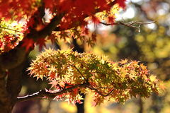 Kouyou. Autumn in Japan, the leaves of the trees change to beautiful colors Royalty Free Stock Photo