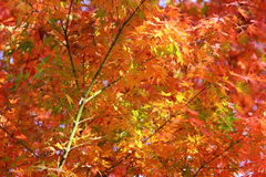 Kouyou. Autumn in Japan, the leaves of the trees change to beautiful colors Stock Photography