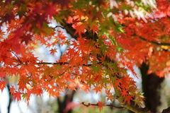 Kouyou. Autumn in Japan, the leaves of the trees change to beautiful colors Stock Image