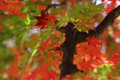 Kouyou. Autumn in Japan, the leaves of the trees change to beautiful colors Royalty Free Stock Photos
