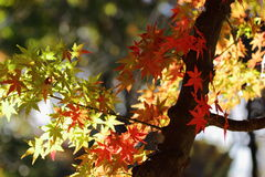Kouyou. Autumn in Japan, the leaves of the trees change to beautiful colors Royalty Free Stock Images