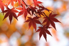 Kouyou1. Autumn in Japan, the leaves of the trees change to beautiful colors Stock Image