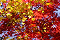 Kouyou4. Autumn in Japan, the leaves of the trees change to beautiful colors Royalty Free Stock Photo