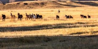 Kowboj Spiera się stada konie zdjęcia royalty free
