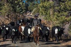 Kowboje na przecinających krowach i cal bydło przejażdżki gromadzenia się Angus, Hereford/ Zdjęcie Royalty Free