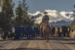 Kowboje na przecinających krowach i cal bydło przejażdżki gromadzenia się Angus, Hereford/ Fotografia Royalty Free