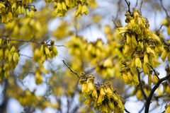 Kowhai Royalty Free Stock Images