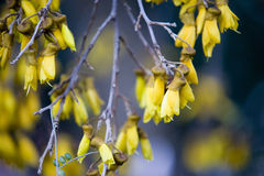 Kowhai Royalty Free Stock Photography