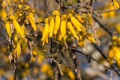 Kowhai-Baumblumen Lizenzfreie Stockbilder