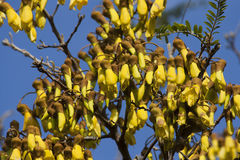 Kowhai Flowers Stock Images