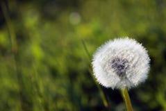 Łąkowi dandelions po tym jak kwitnący zrobi ten światłu Obrazy Stock