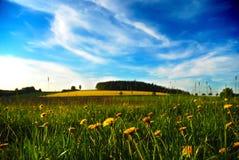 Łąka z dandelions Obraz Royalty Free
