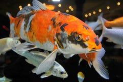 Koy aquarium Stock Images