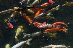 Koy carp fish Stock Photography