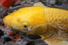 koy guldfisk Royaltyfri Bild