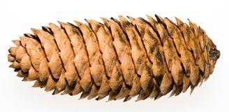Koyamai Spruce Cones Stock Images