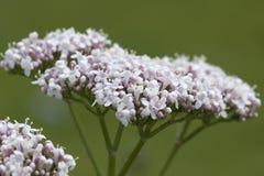 Kozłek; officinalis; lecznicza roślina Obrazy Royalty Free