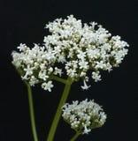 Kozłek; officinalis; lecznicza roślina Zdjęcie Royalty Free