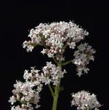 Kozłek; officinalis; lecznicza roślina Zdjęcia Stock