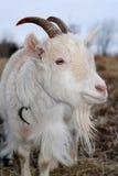 koza zdjęcie royalty free