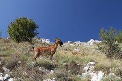 koza Obrazy Stock