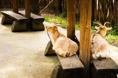 koza Fotografia Stock