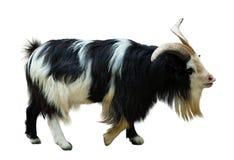 koza Odizolowywający nad bielem Zdjęcie Royalty Free