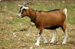 koza rolnej zdjęcie stock