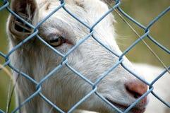 koza w klatce Fotografia Royalty Free