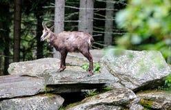 Koziorożec czekanie na skale w lesie dla jego paczki z odmienianiem obrzuca zdjęcia royalty free