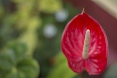 Kozohara Anthurium kwiat z zamazanym tłem obraz stock