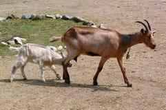 kozy zdjęcie stock