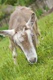 kozy ciekawskie Zdjęcie Stock