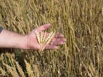 Köpfe des Weizens. Stockfotos
