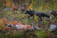Kpi Fox Vulpes vulpes Wędruje O jesieni zdjęcia stock
