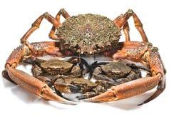 Kräfta och krabbor Fotografering för Bildbyråer