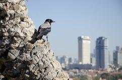 Krähe über der Stadt stockfotografie