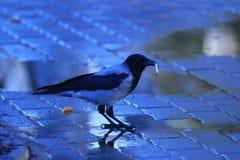 Krähe auf dem Bürgersteig im Herbst Lizenzfreies Stockfoto