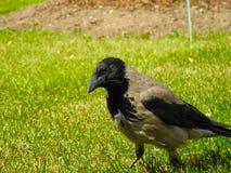Krähe auf dem Gras Lizenzfreie Stockbilder