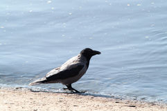 Krähe auf dem Strand Stockfotos