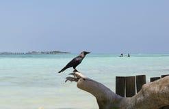 Krähe auf den Malediven Stockfotografie